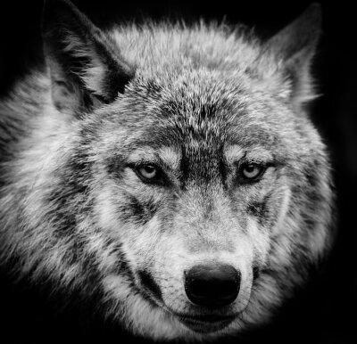 Fotomural Ojos del lobo, Un disparo de cabeza blanco y negro de un lobo.