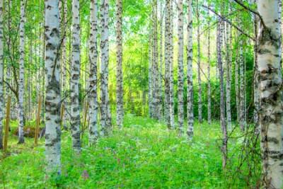Fotomural Opinión del bosque del abedul del verano de Sotkamo, Finlandia.