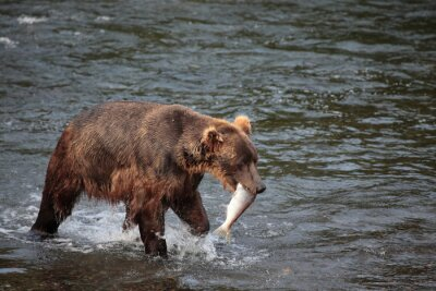 Fotomural Oso de la pesca