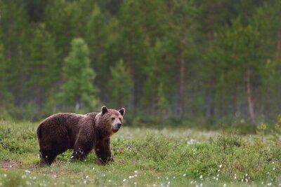 Fotomural Oso marrón con fondo de bosque