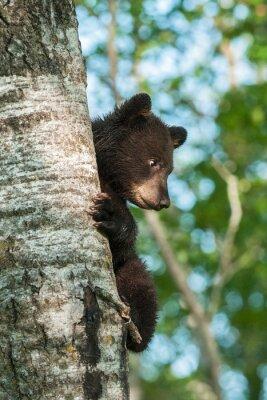 Fotomural Oso negro joven (Ursus americanus) en el lado del árbol