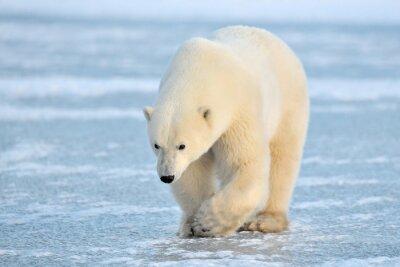Fotomural Oso polar caminando sobre hielo azul.