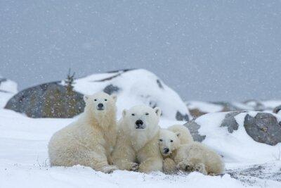 Fotomural oso polar con los cachorros