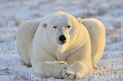 Fotomural Oso polar que miente en la tundra.