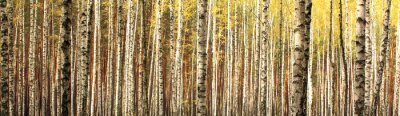 Fotomural Otoño abedul bosque paisaje panorama