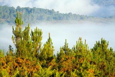 Fotomural Paisaje brumoso con bosque de pinos