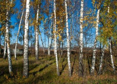 Fotomural Paisaje de otoño con abedules