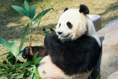 Fotomural Panda comiendo bambú