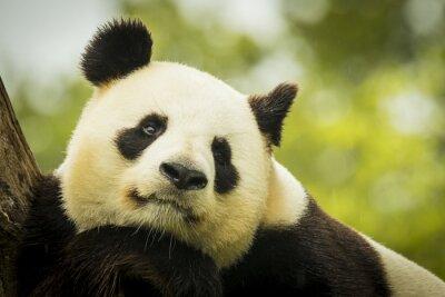 Fotomural Panda despierto