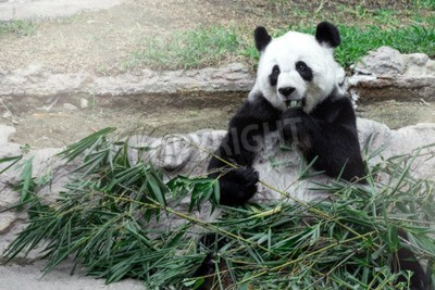 Fotomural Panda encantadora comiendo bambú