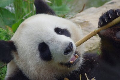 Fotomural Panda géant