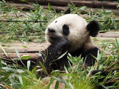 Fotomural Panda gigante comiendo bambú en la provincia china de Chengdu Sichuan