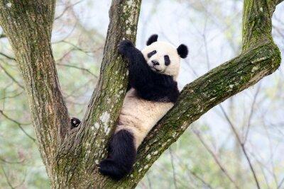 Fotomural Panda gigante sentado en el árbol, Szechuan, China