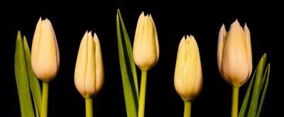 Fotomural Panorama de tulipán blanco