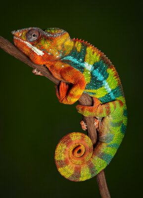 Fotomural Panther Chameleon at rest
