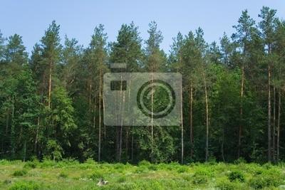Fotomural pared panorama bosque cono de árboles de hoja perenne verano