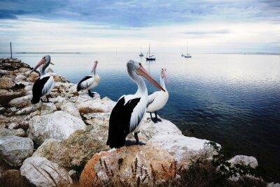 Fotomural Pelícanos, Isla Canguro, Australia