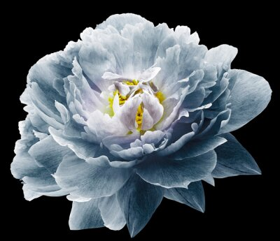 Fotomural Peony flower blue on the black isolated background with clipping path. Nature. Closeup no shadows. Garden flower.