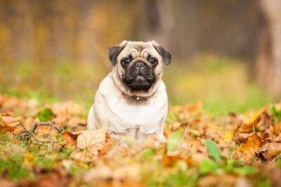 Fotomural Perro pug beige sentado en las hojas en otoño