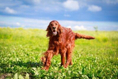Fotomural Perro setter irlandés rojo