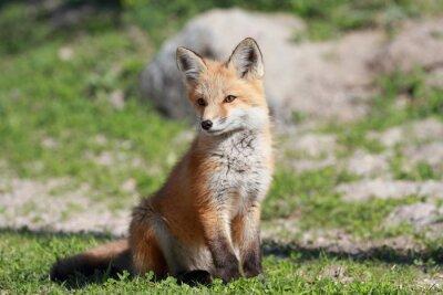 Fotomural petit renard roux