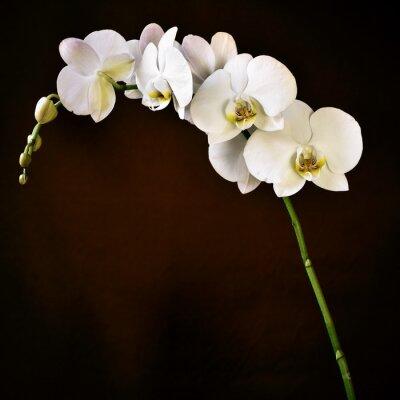 Fotomural Phalaenopsis aphrodite orquídea