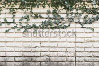 Fotomural Planta de enredadera verde que crece en la pared de ladrillo viejo