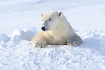 Fotomural Polar bear mother coming out freshly opened den