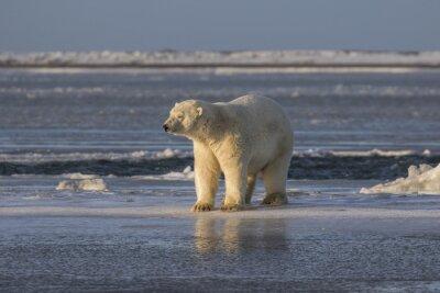 Fotomural Polar Bear revisando las cosas