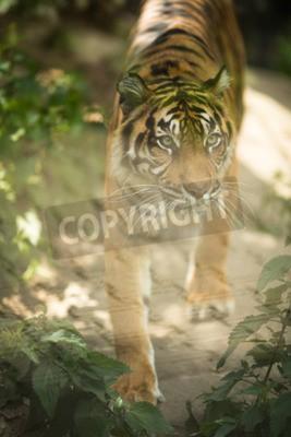 Fotomural Primer de un tigre siberiano también conocido como tigre de Amur (Panthera tigris altaica), el gato vivo más grande