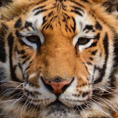 Fotomural Primer plano de la cara del tigre