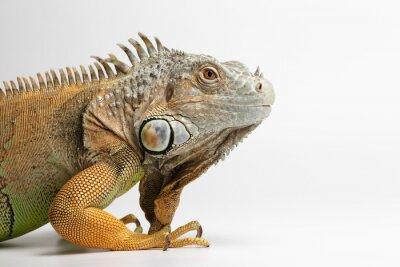 Fotomural Primer plano de la iguana verde en el fondo blanco