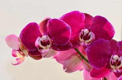 Fotomural Primer plano orquídea púrpura