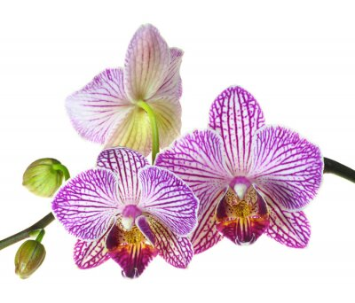 Fotomural Profundidad extrema de fotos Campo de una orquídea Tres Blooms