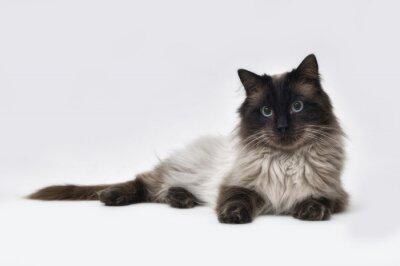Fotomural Punto de gato Ragdoll Seal
