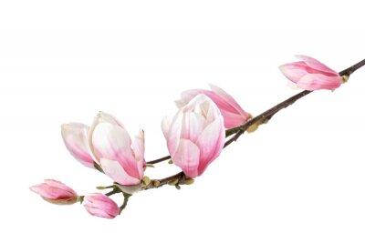 Fotomural Rama de la magnolia flores aisladas sobre un fondo blanco