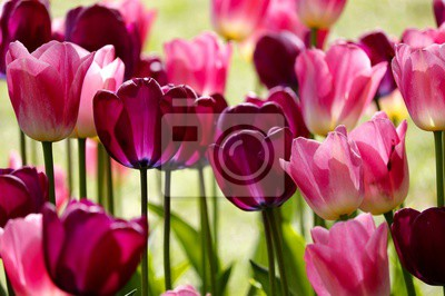 Fotomural red and pink tulip flowers