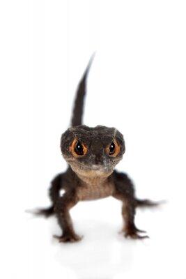 Fotomural Red-eyed crocodile skinks, tribolonotus gracilis, en blanco