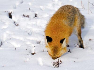Fotomural Red Fox cara en la nieve