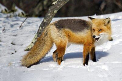 Fotomural Red Fox en la nieve