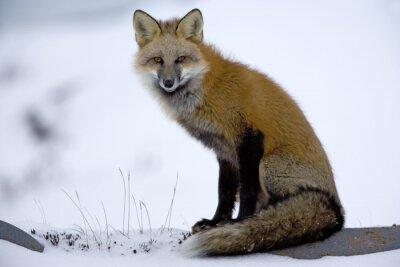 Fotomural Red Fox está descansando