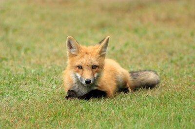 Fotomural Red Fox kit posando en un prado de la hierba, PEI, Canadá