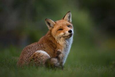 Fotomural Red Fox sentado en la hierba