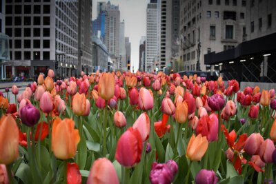 Fotomural red tulips in Chicago downtown