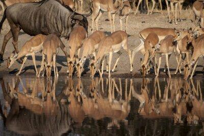 Fotomural Reserva natural de Impala (Aepyceros melampus) del Timbavati en Sudáfrica