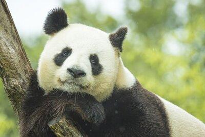 Fotomural Retrato de la panda