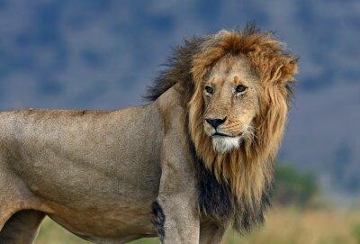 Fotomural Retrato de león africano