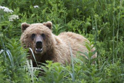 Fotomural Retrato de oso pardo salvaje libre de itinerancia