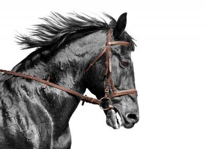 Fotomural Retrato del caballo en negro y blanco en la brida marrón