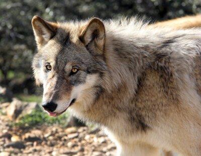 Fotomural Retrato del lobo gris de Alaska
